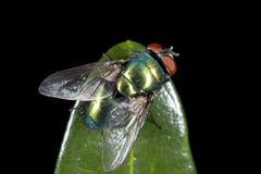 Mosca verde de la botella Fotografía de archivo libre de regalías