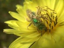 Mosca verde della bottiglia che impollina Texas Dandelion giallo immagini stock libere da diritti