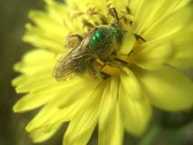 Mosca verde della bottiglia che impollina Texas Dandelion giallo fotografia stock libera da diritti