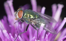 Mosca verde do bluebottle que senta-se no thistle Fotografia de Stock