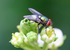 Mosca verde do frasco Foto de Stock Royalty Free