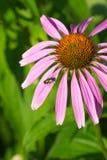 Mosca verde en la flor rosada Foto de archivo