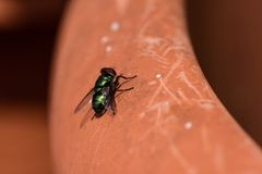 mosca verde isolata Immagine Stock