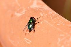 mosca verde isolata Fotografie Stock Libere da Diritti