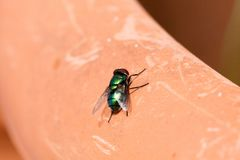 mosca verde isolata Fotografia Stock