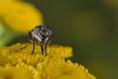 Mosca verde mientras que chupa el polen Foto de archivo libre de regalías