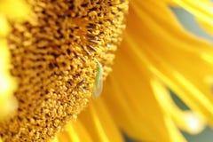 Mosca verde que se sienta en una flor de un girasol Fotografía de archivo libre de regalías