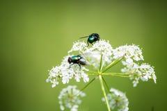 Mosca verde su un fiore bianco Fotografia Stock Libera da Diritti