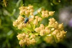 Mosca verde su un fiore giallo fotografia stock