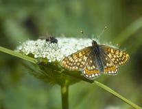 Mosca y mariposa fotografía de archivo libre de regalías