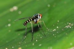 Mosca zanquilarga Dolichopodidae, díptero Imagen de archivo libre de regalías