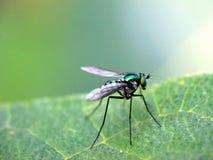 Mosca zanquilarga incluida en la familia de Dolichopodidae Imagen de archivo