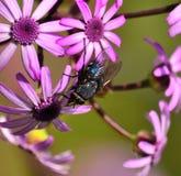 Moscarda entre webbii del pericallis de las flores salvajes Foto de archivo