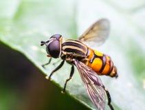 moscas Foto de Stock Royalty Free