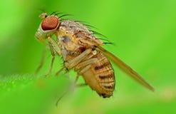 moscas Imagem de Stock