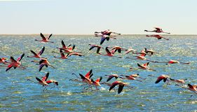 Moscas cor-de-rosa africanas bonitas dos flamingos sobre o mar fotos de stock
