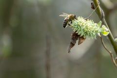 Moscas de abelha da flor a florescer foto de stock royalty free