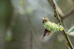 Moscas de abelha da flor a florescer imagens de stock