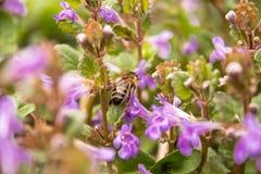 Moscas de abelha entre plantas ao recolher o p?len das flores Uma flor pequena e uma abelha nela fotografia de stock