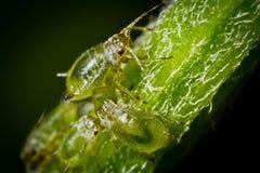 Moscas del verde Fotos de archivo