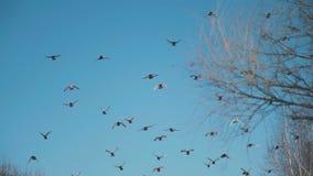 Moscas dos pombos sobre as árvores na mola adiantada video estoque
