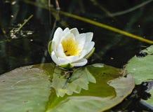Moscas em um lírio de água Fotografia de Stock