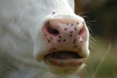Moscas en la vaca Fotos de archivo