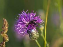 Moscas en una flor salvaje Imágenes de archivo libres de regalías