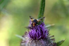 Moscas en una mayor bardana floreciente, lappa del Arctium Fotos de archivo libres de regalías