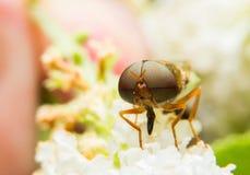Moscas/mosca de fruto Foto de Stock