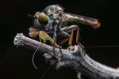 Moscas/mosca de ladrão Fotografia de Stock