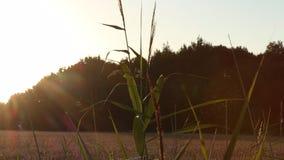 Moscas/mosquitos/Midges iluminados para trás no sol de nivelamento em um campo de trigo em Frisia do leste filme