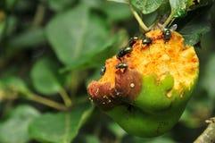 Moscas na fruta podre imagem de stock royalty free