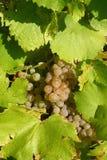 moscato dell'uva Fotografie Stock