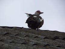 Moschata Cairina стоит на крыше шифера стоковое изображение rf