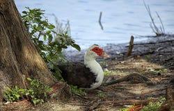 Moschata de Cairina de canard de Muscovy, se trouvant sous la nuance photos stock
