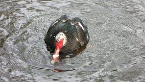 Moschata duckar danandeförälskelse i pölen Arkivfoto