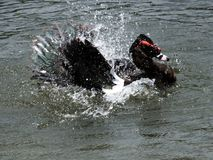moschata muscovy de canard de cairina Photos libres de droits
