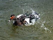 moschata muscovy de canard de cairina Images stock
