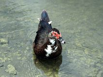 moschata muscovy de canard de cairina Image libre de droits