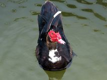 moschata muscovy de canard de cairina Images libres de droits