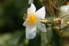 Moschata rose de Rosa de musc Image stock