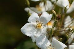 Moschata rose de Rosa de musc Image libre de droits