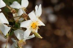 Moschata rose de Rosa de musc Photo stock