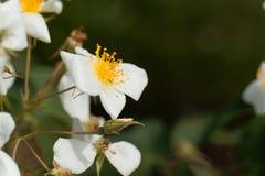 Moschata rose de Rosa de musc Images libres de droits