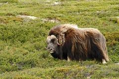Moschatus van Muskoxovibos De stier die van de muskusos zich vreedzaam op gras in Groenland bevinden Machtig wild dier royalty-vrije stock afbeeldingen