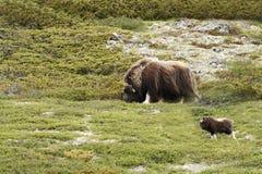 Moschatus van Muskoxovibos Muskusos die zich vreedzaam op gras met kalf in Groenland bevinden Machtig wild dier stock afbeeldingen