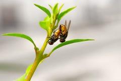 Mosche comuni che si accoppiano sul gambo di fiore - riproduzione dell'insetto fotografie stock