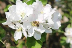 Mosche di ape su un fiore bianco di fioritura fotografie stock
