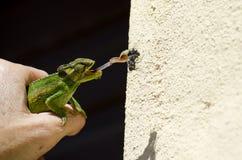 Mosche di cattura del camaleonte nano del capo Fotografia Stock Libera da Diritti